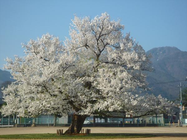 아지마노 잇폰자쿠라 벚나무 image