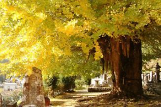 고센지 절의 고사즈케 은행나무 image