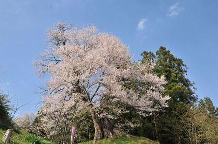 고모리도노사쿠라 벚나무 image
