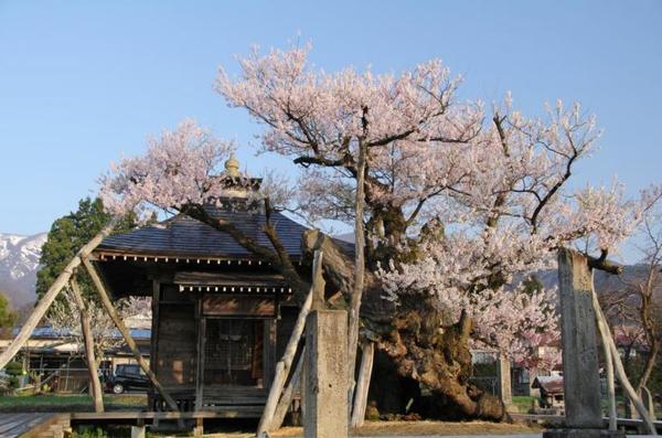 야쿠시자쿠라 벚나무 image