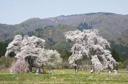 주니노사쿠라 벚나무 image