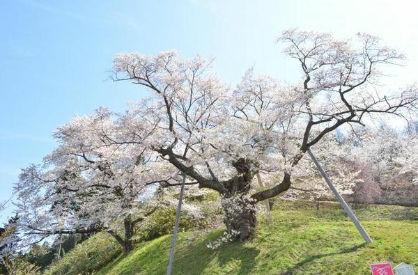 도노이리자쿠라 벚나무 image