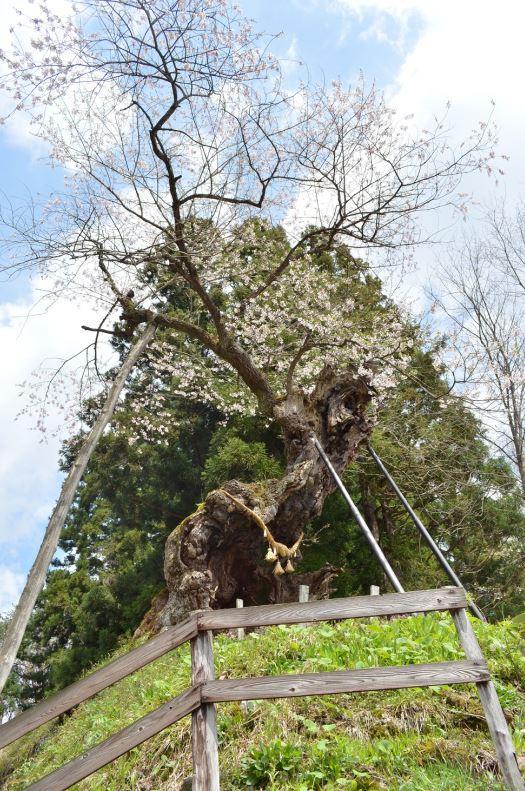 아카사카의 야쿠시자쿠라 벚나무 image