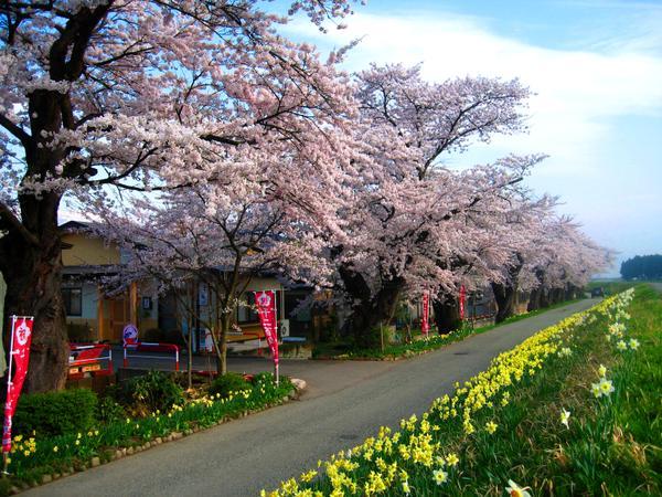 모가미가와 제방 센본자쿠라 벚꽃길 image