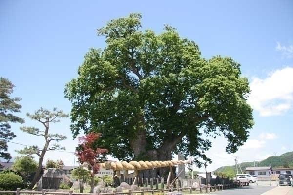 東根の大ケヤキ image
