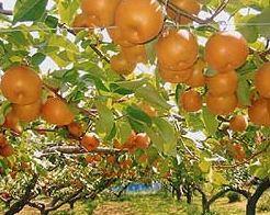 果樹の森 よこせ梨園 image