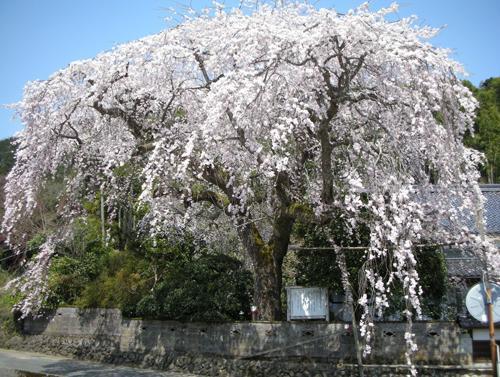 長瀬の大しだれ桜 image