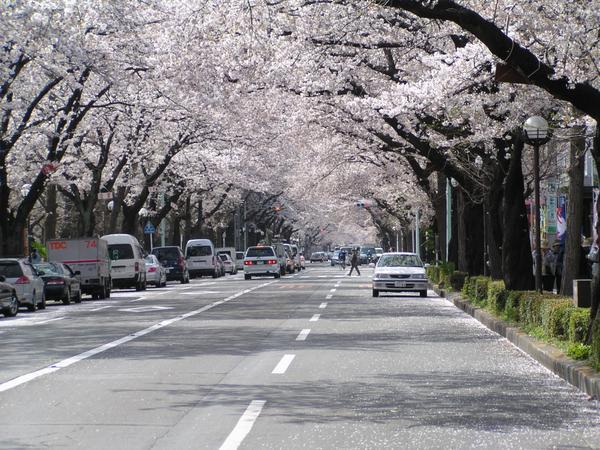 구니타치시 다이가쿠도리&사쿠라도리 거리 image