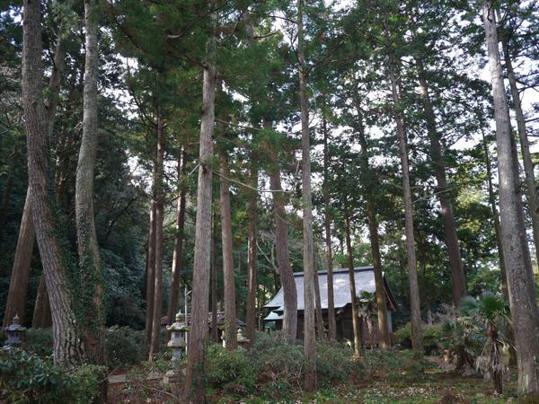 春日神社のクロマツ群 image