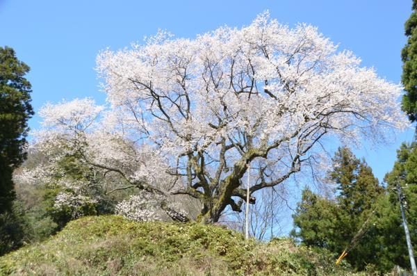 金谷城山櫻 image