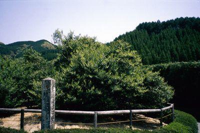 大茶樹 image
