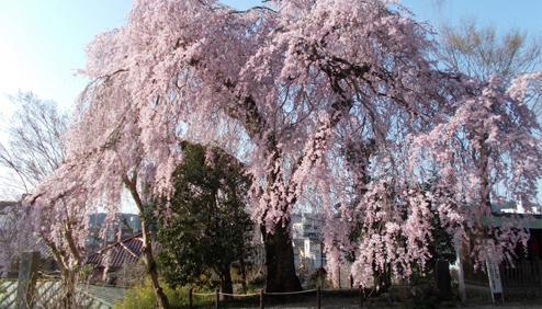 바이간지 절의 수양벚나무 image