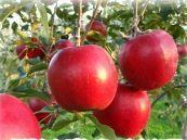 染谷りんご園 image