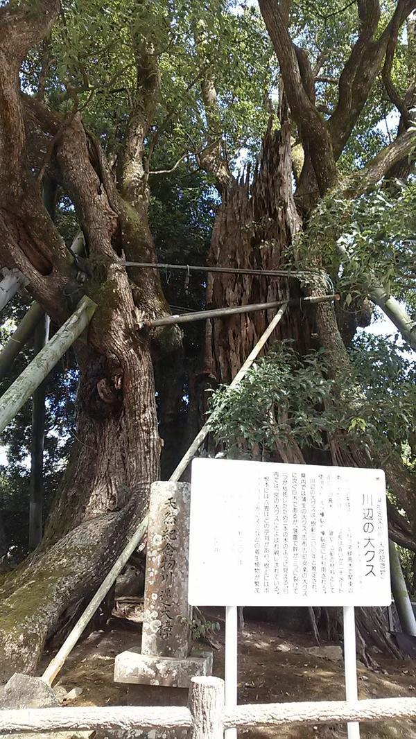 가와나베 녹나무 image