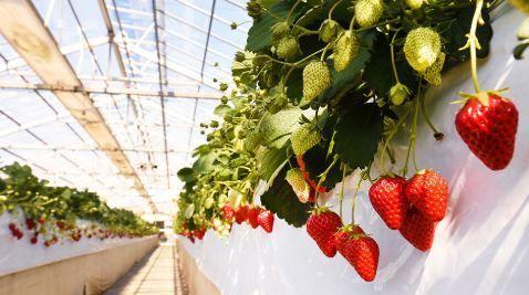 德江草莓農園 image