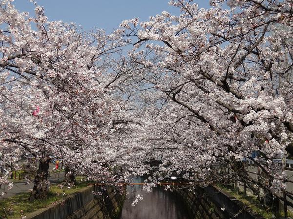 十四川の桜並木 image
