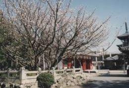 白子の不断桜 image