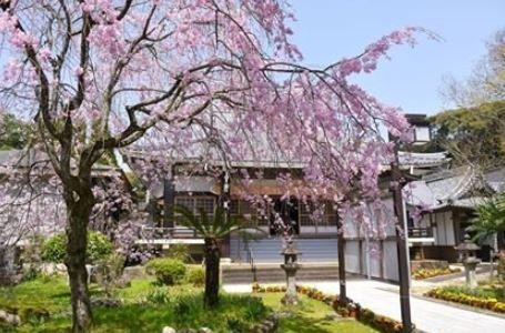 사이코지 절 오무라자쿠라 벚나무 image