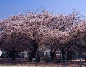 가요코 벚나무 image